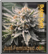 Bubba Kush cannabis single seeds available ganja buy online supplier